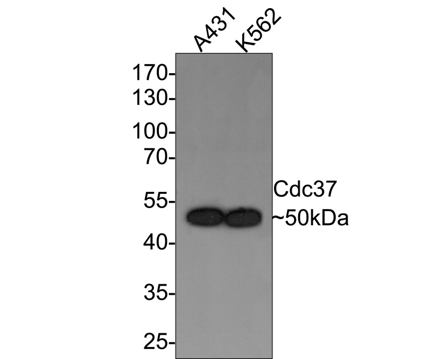 Western blot analysis of Cdc37 on different lysates using anti-Cdc37 antibody at 1/1,000 dilution.<br /> Positive control: <br /> Lane 1: Jurkat <br /> Lane 2: A431 <br /> Lane 3: K562