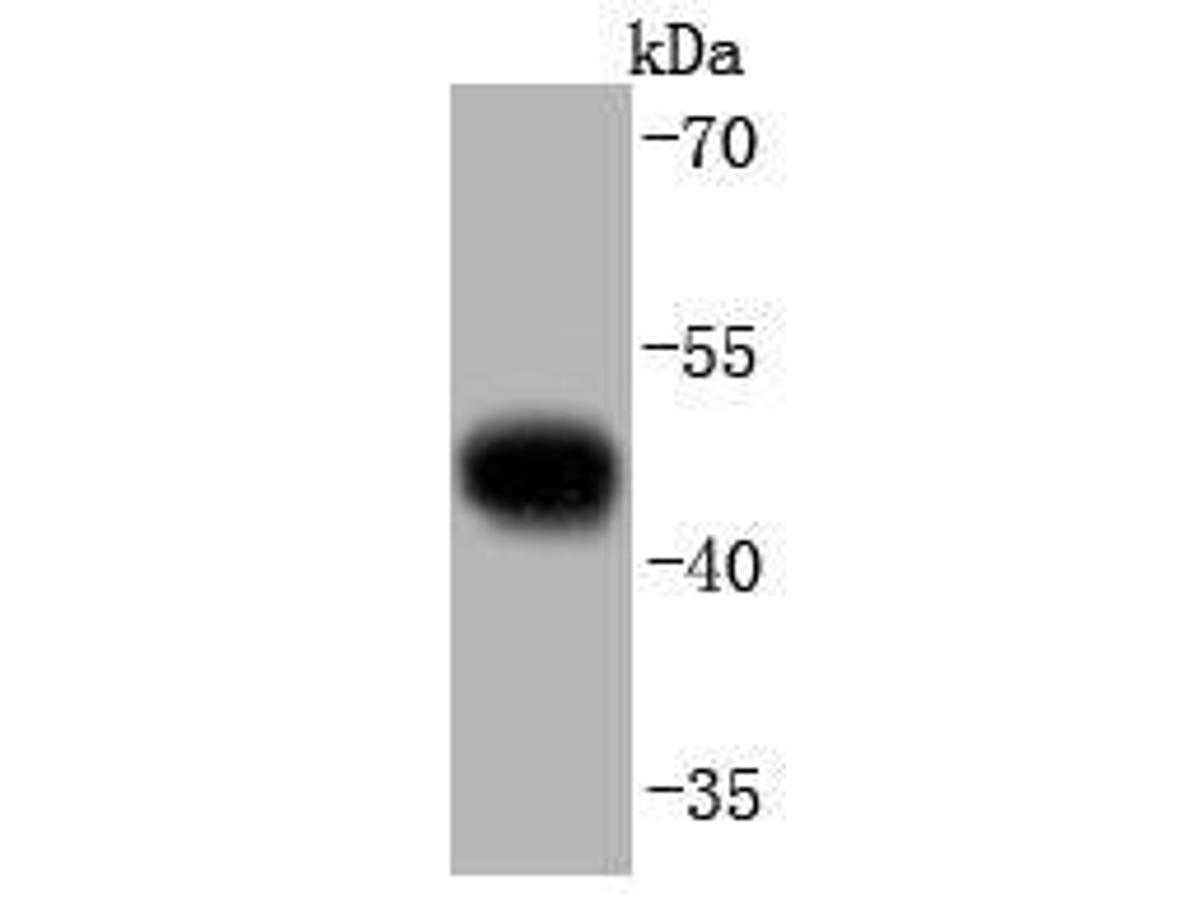 Western blot analysis of pro Caspase 9 on Hela cells lysates using anti-pro Caspase 9 antibody at 1/1,000 dilution.