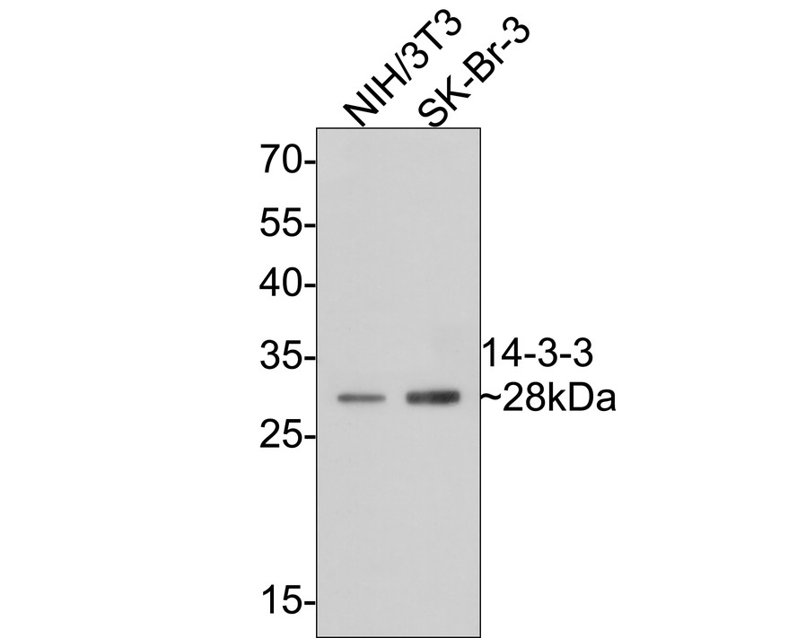 Western blot analysis of 14-3-3 on different lysates using anti-14-3-3 antibody at 1/1,000 dilution.<br />  Positive control: <br />   Lane 1: HT29 <br />   Lane 2: Human skin <br />   Lane 3: NIH/3T3