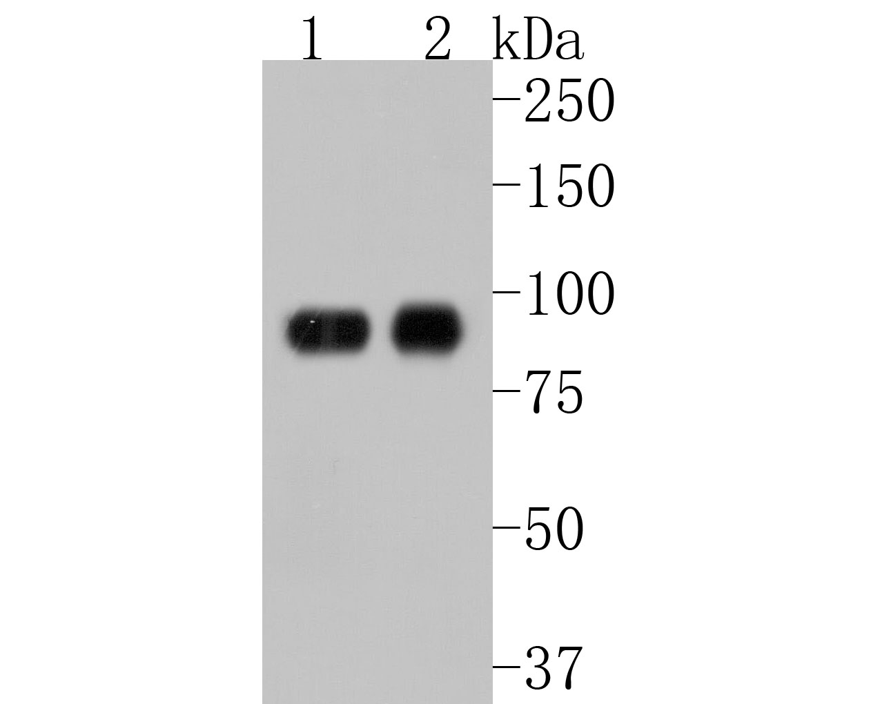 Western blot analysis of STAT5A+B on different lysates using anti-STAT5A+B antibody at 1/1,000 dilution.<br /> Positive control: <br /> Lane 1: K562 <br /> Lane 2: Jurkat <br /> Lane 3: PC-12