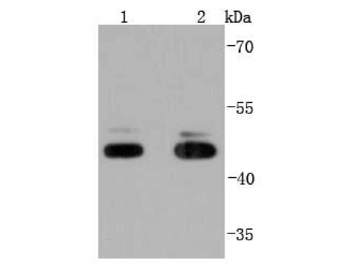 Western blot analysis of JNK1+JNK3 on different lysates using anti-JNK1+JNK3 antibody at 1/1,000 dilution.<br /> Positive control: <br /> Lane 1: NIH/3T3 <br /> Lane 2: PC-12