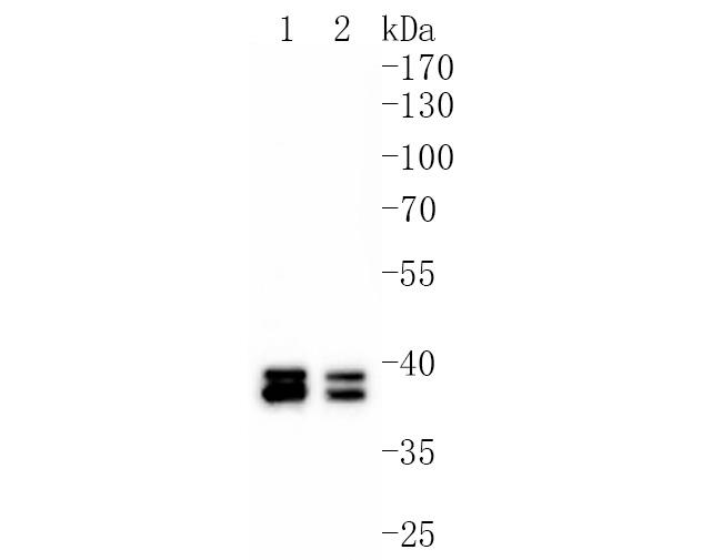Western blot analysis of MEK3+MEK6 on different lysates using anti-MEK3+MEK6 antibody at 1/1,000 dilution.<br />  Positive control: <br />   Lane 1: Hela <br />   Lane 2: Jurkat