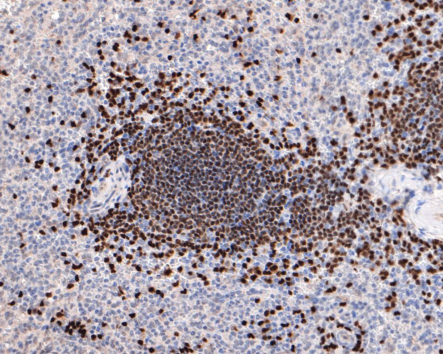 Flow cytometric analysis of PAX5 was done on Raji cells. The cells were fixed, permeabilized and stained with the primary antibody (ET1701-49, 1/50) (red). After incubation of the primary antibody at room temperature for an hour, the cells were stained with a Alexa Fluor 488-conjugated Goat anti-Rabbit IgG Secondary antibody at 1/1000 dilution for 30 minutes.Unlabelled sample was used as a control (cells without incubation with primary antibody; black).