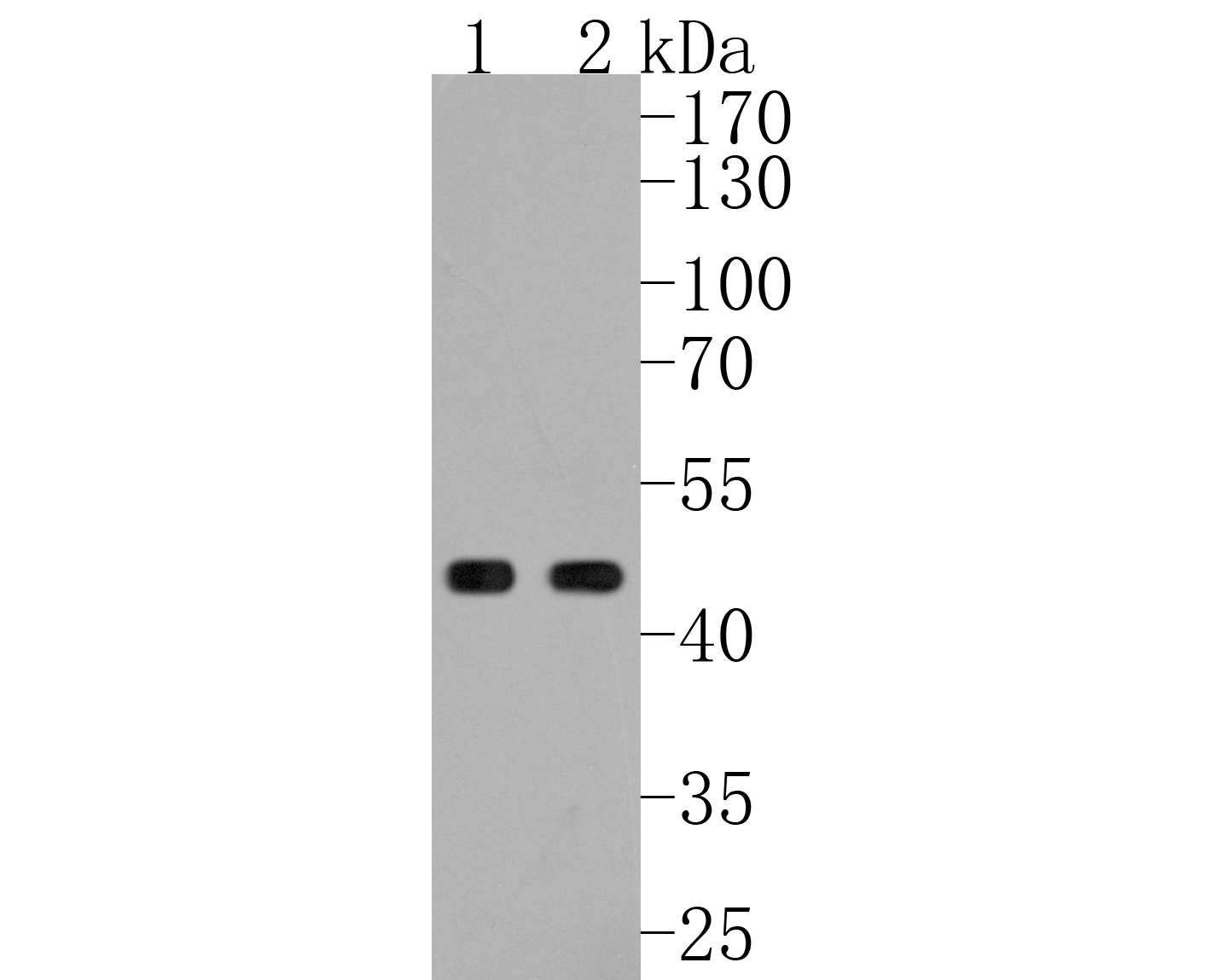 Western blot analysis of TSG101 on different lysates. Proteins were transferred to a PVDF membrane and blocked with 5% BSA in PBS for 1 hour at room temperature. The primary antibody (ET1701-59, 1/500) was used in 5% BSA at room temperature for 2 hours. Goat Anti-Rabbit IgG - HRP Secondary Antibody (HA1001) at 1:5,000 dilution was used for 1 hour at room temperature.<br /> Positive control: <br /> Lane 1: NIH/3T3 cell lysate<br /> Lane 2: Hela cell lysate