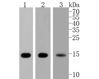 Western blot analysis of COX IV on different lysates. Proteins were transferred to a PVDF membrane and blocked with 5% BSA in PBS for 1 hour at room temperature. The primary antibody (ET1701-63, 1/500) was used in 5% BSA at room temperature for 2 hours. Goat Anti-Rabbit IgG - HRP Secondary Antibody (HA1001) at 1:5,000 dilution was used for 1 hour at room temperature.<br /> Positive control: <br /> Lane 1: mouse heart tissue lysate<br /> Lane 2: rat heart tissue lysate<br /> Lane 3: MCF-7 cell lysate