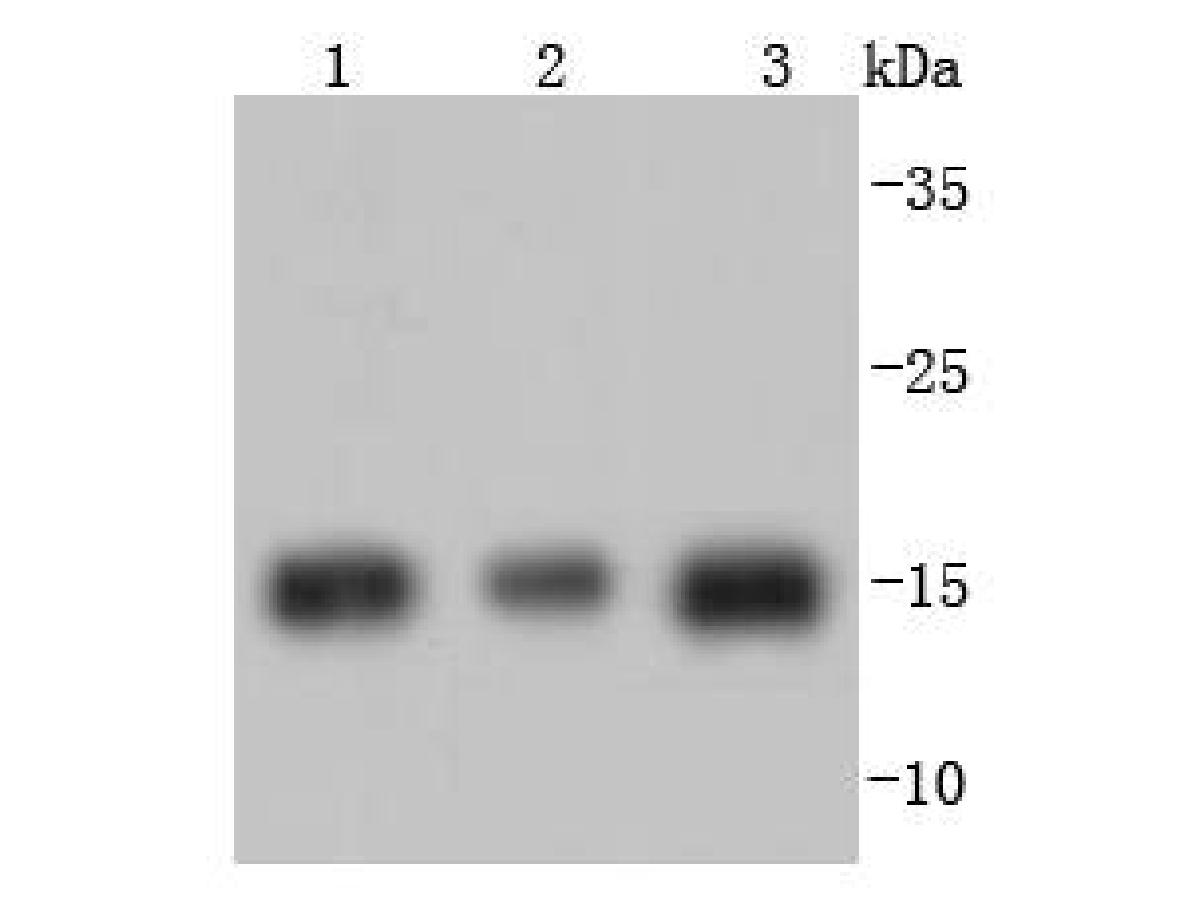 Western blot analysis of Histone H3 on different lysates using anti-Histone H3 antibody at 1/1,000 dilution.<br /> Positive control:   <br /> Lane 1: Hela             <br /> Lane 2: MCF-7 <br /> Lane 3: NIH/3T3