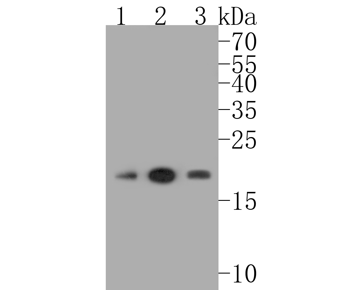 Western blot analysis of CDC42 on different lysates. Proteins were transferred to a PVDF membrane and blocked with 5% BSA in PBS for 1 hour at room temperature. The primary antibody (ET1701-7, 1/500) was used in 5% BSA at room temperature for 2 hours. Goat Anti-Rabbit IgG - HRP Secondary Antibody (HA1001) at 1:5,000 dilution was used for 1 hour at room temperature.<br />  Positive control: <br />  Lane 1: Hela cell lysate<br />  Lane 2: HepG2 cell lysate<br />  Lane 3: Jurkat cell lysate
