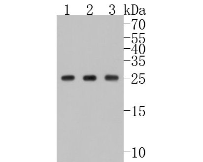 Western blot analysis of Hsp27 on different lysates. Proteins were transferred to a PVDF membrane and blocked with 5% BSA in PBS for 1 hour at room temperature. The primary antibody (ET1701-70, 1/500) was used in 5% BSA at room temperature for 2 hours. Goat Anti-Rabbit IgG - HRP Secondary Antibody (HA1001) at 1:5,000 dilution was used for 1 hour at room temperature.<br /> Positive control: <br /> Lane 1: Hela cell lysate<br /> Lane 2: A549 cell lysate<br /> Lane 3: Jurkat cell lysate