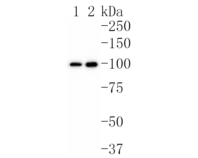 Western blot analysis of CDC5L on different lysates using anti-CDC5L antibody at 1/1,000 dilution.<br /> Positive control: <br />  Lane 1: Hela <br />  Lane 2: Jurkat