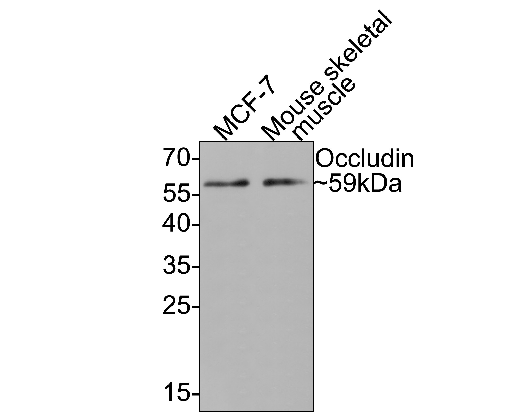 Flow cytometric analysis of 293 cells with Occludin antibody at 1/50 dilution (red) compared with an unlabelled control (cells without incubation with primary antibody; black). Alexa Fluor 488-conjugated goat anti rabbit IgG was used as the secondary antibody.