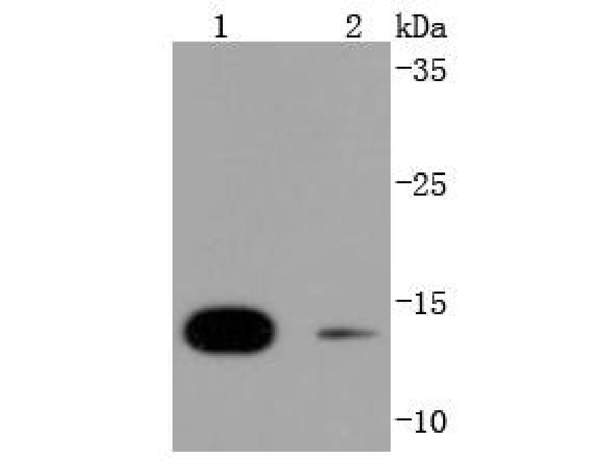 Western blot analysis of SUMO4 on different lysates using anti-SUMO4 antibody at 1/1,000 dilution.<br /> Positive control: <br /> Lane 1: 293T <br /> Lane 2: Jurkat