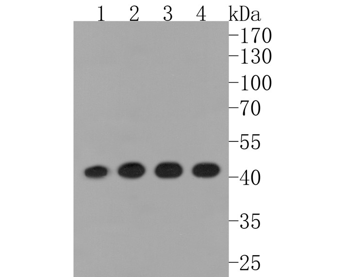 Western blot analysis of Actin on different lysates. Proteins were transferred to a PVDF membrane and blocked with 5% BSA in PBS for 1 hour at room temperature. The primary antibody (ET1701-80, 1/500) was used in 5% BSA at room temperature for 2 hours. Goat Anti-Rabbit IgG - HRP Secondary Antibody (HA1001) at 1:5,000 dilution was used for 1 hour at room temperature.<br />  Positive control: <br />  Lane 1: PC-12 cell lysate<br />  Lane 2: Hela cell lysate<br />  Lane 3: A431 cell lysate<br />  Lane 4: zebrafish tissue lysate