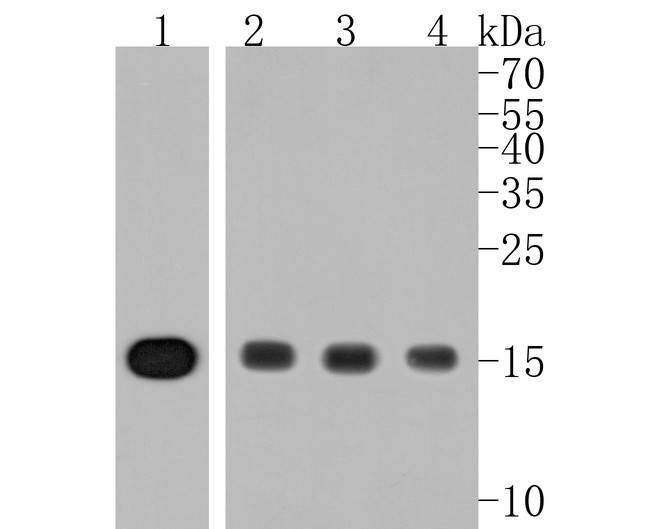 Western blot analysis of Histone H3 on different lysates. Proteins were transferred to a PVDF membrane and blocked with 5% BSA in PBS for 1 hour at room temperature. The primary antibody (ET1701-81, 1/500) was used in 5% BSA at room temperature for 2 hours. Goat Anti-Rabbit IgG - HRP Secondary Antibody (HA1001) at 1:5,000 dilution was used for 1 hour at room temperature.<br /> Positive control: <br /> Lane 1: CRC cell lysate<br /> Lane 2: Hela cell lysate<br /> Lane 3: MCF-7 cell lysate<br /> Lane 4: NIH/3T3 cell lysate