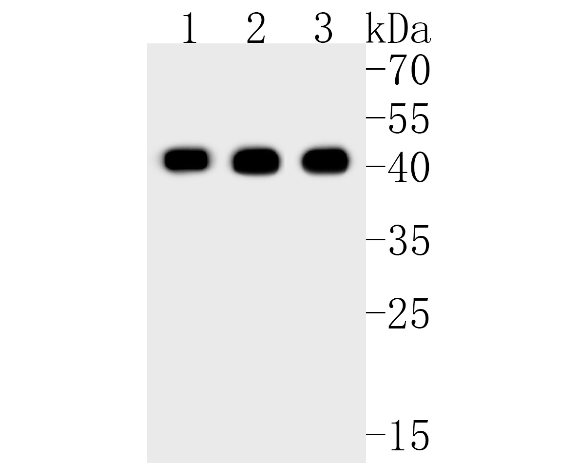 Western blot analysis of DUSP1 on different lysates. Proteins were transferred to a PVDF membrane and blocked with 5% BSA in PBS for 1 hour at room temperature. The primary antibody (ET1701-82, 1/500) was used in 5% BSA at room temperature for 2 hours. Goat Anti-Rabbit IgG - HRP Secondary Antibody (HA1001) at 1:5,000 dilution was used for 1 hour at room temperature.<br />  Positive control: <br />  Lane 1: NIH/3T3 cell lysate<br />  Lane 2: Jurkat cell lysate<br />  Lane 3: mouse spleen tissue lysate