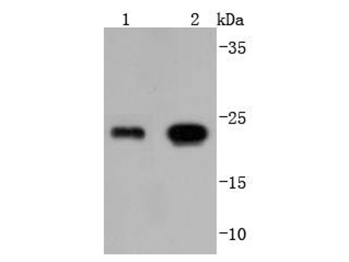 Western blot analysis of Glutathione Peroxidase 1 on different lysates using anti-Glutathione Peroxidase 1 antibody at 1/1,000 dilution.<br /> Positive control: <br /> Lane 1: HepG2 <br /> Lane 2: THP-1