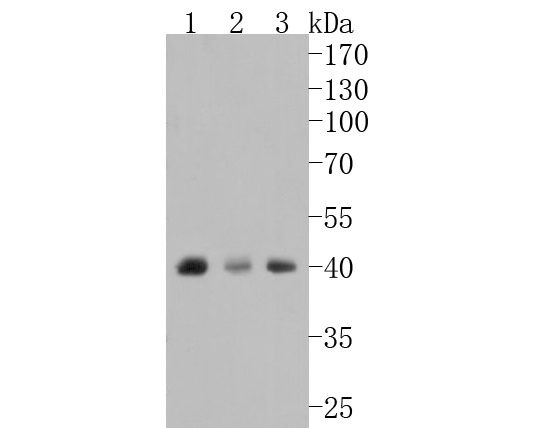 Western blot analysis of Bmi1 on different lysates. Proteins were transferred to a PVDF membrane and blocked with 5% BSA in PBS for 1 hour at room temperature. The primary antibody (ET1701-89, 1/500) was used in 5% BSA at room temperature for 2 hours. Goat Anti-Rabbit IgG - HRP Secondary Antibody (HA1001) at 1:5,000 dilution was used for 1 hour at room temperature.<br /> Positive control: <br /> Lane 1: K562 cell lysate<br /> Lane 2: PC-12 cell lysate<br /> Lane 3: SW480 cell lysate