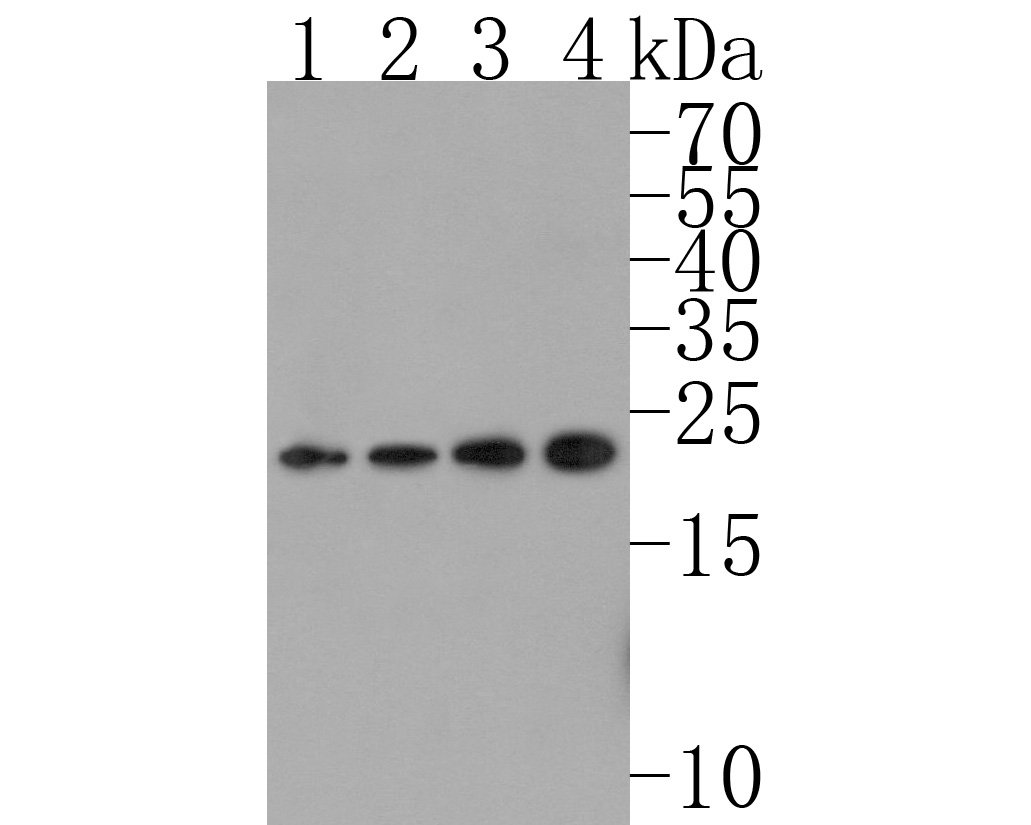 Western blot analysis of Ubiquitin D on different lysates. Proteins were transferred to a PVDF membrane and blocked with 5% BSA in PBS for 1 hour at room temperature. The primary antibody (ET1701-9, 1/500) was used in 5% BSA at room temperature for 2 hours. Goat Anti-Rabbit IgG - HRP Secondary Antibody (HA1001) at 1:200,000 dilution was used for 1 hour at room temperature.<br /> Positive control: <br /> Lane 1: HepG2 cell lysate<br /> Lane 2: Hela cell lysate<br /> Lane 3: SK-Br-3 cell lysate<br /> Lane 4: K562 cell lysate