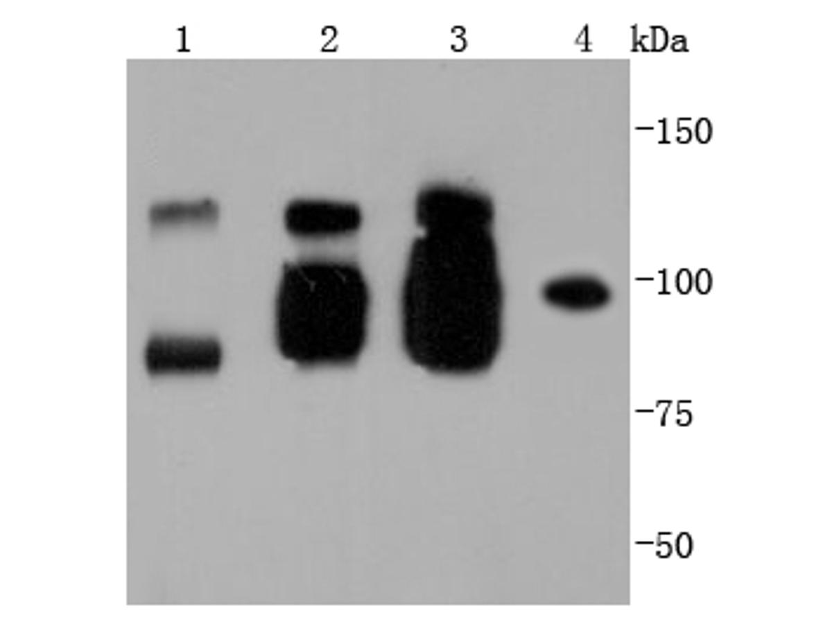 Western blot analysis of VE Cadherin on different lysates using anti-VE Cadherin antibody at 1/1,000 dilution.<br /> Positive control: <br /> Lane 1: Mouse heart <br /> Lane 2: Mouse placenta <br /> Lane 3: Mouse spleen <br /> Lane 4: Mouse lung