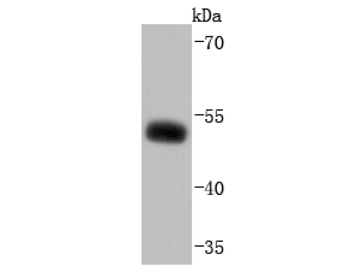 Western blot analysis of EBP50 on MCF-7 cells lysates using anti-EBP50 antibody at 1/1,000 dilution.