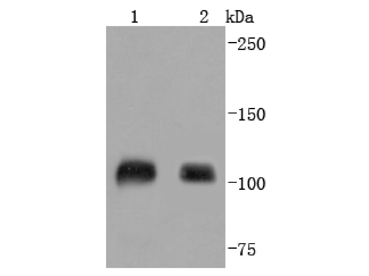 Western blot analysis of SP1 on different lysates using anti-SP1 antibody at 1/1,000 dilution.<br /> Positive control: <br /> Lane 1: Jurkat <br /> Lane 2: Hela