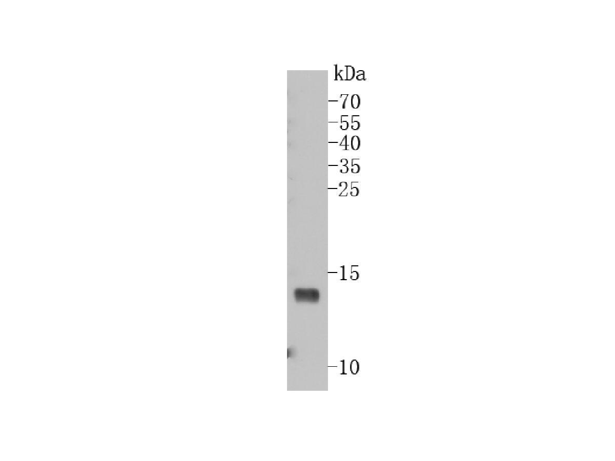Western blot analysis of VAMP8 on U93 cell lysates using anti-VAMP8 antibody at 1/500 dilution.