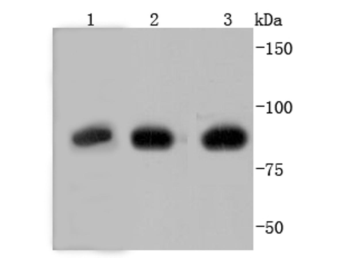 Western blot analysis of Glucocorticoid Receptor on different lysates using anti-Glucocorticoid Receptor antibody at 1/1,000 dilution.<br />  Positive control: <br />   Lane 1: zebrafish <br />   Lane 2: A549 <br />   Lane 3: HepG2