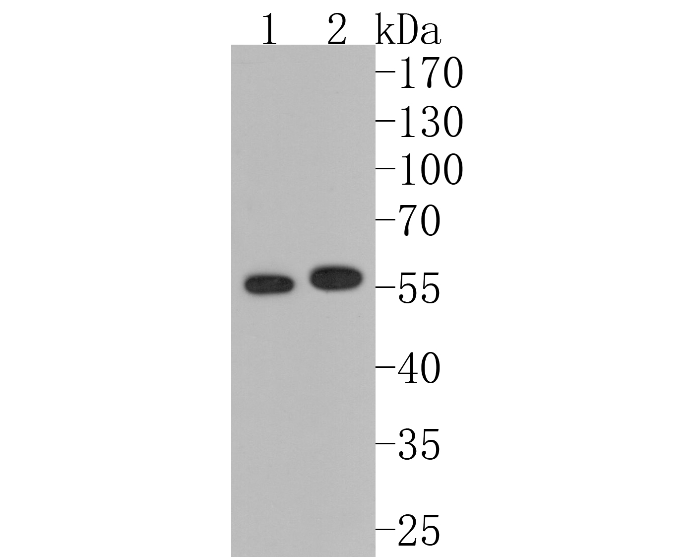 Western blot analysis of MMP13 on different lysates. Proteins were transferred to a PVDF membrane and blocked with 5% BSA in PBS for 1 hour at room temperature. The primary antibody (ET1702-14, 1/500) was used in 5% BSA at room temperature for 2 hours. Goat Anti-Rabbit IgG - HRP Secondary Antibody (HA1001) at 1:5,000 dilution was used for 1 hour at room temperature.<br /> Positive control: <br /> Lane 1: SW480 cell lysate<br /> Lane 2: MCF-7 cell lysate