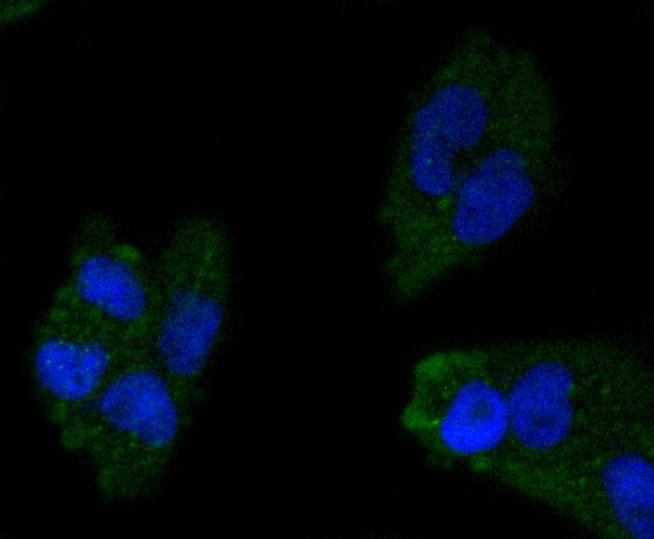 ICC staining Apolipoprotein A1 in N2A cells (green). The nuclear counter stain is DAPI (blue). Cells were fixed in paraformaldehyde, permeabilised with 0.25% Triton X100/PBS.