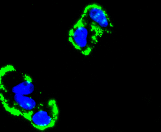 ICC staining Fibronectin in NIH/3T3 cells (green). The nuclear counter stain is DAPI (blue). Cells were fixed in paraformaldehyde, permeabilised with 0.25% Triton X100/PBS.