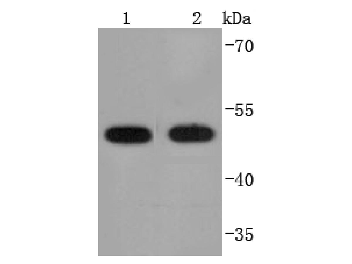 Western blot analysis of PDIA6 on different lysates using anti-PDIA6 antibody at 1/1,000 dilution.<br />  Positive control: <br />  Lane 1: HepG2 <br />  Lane 2: K562