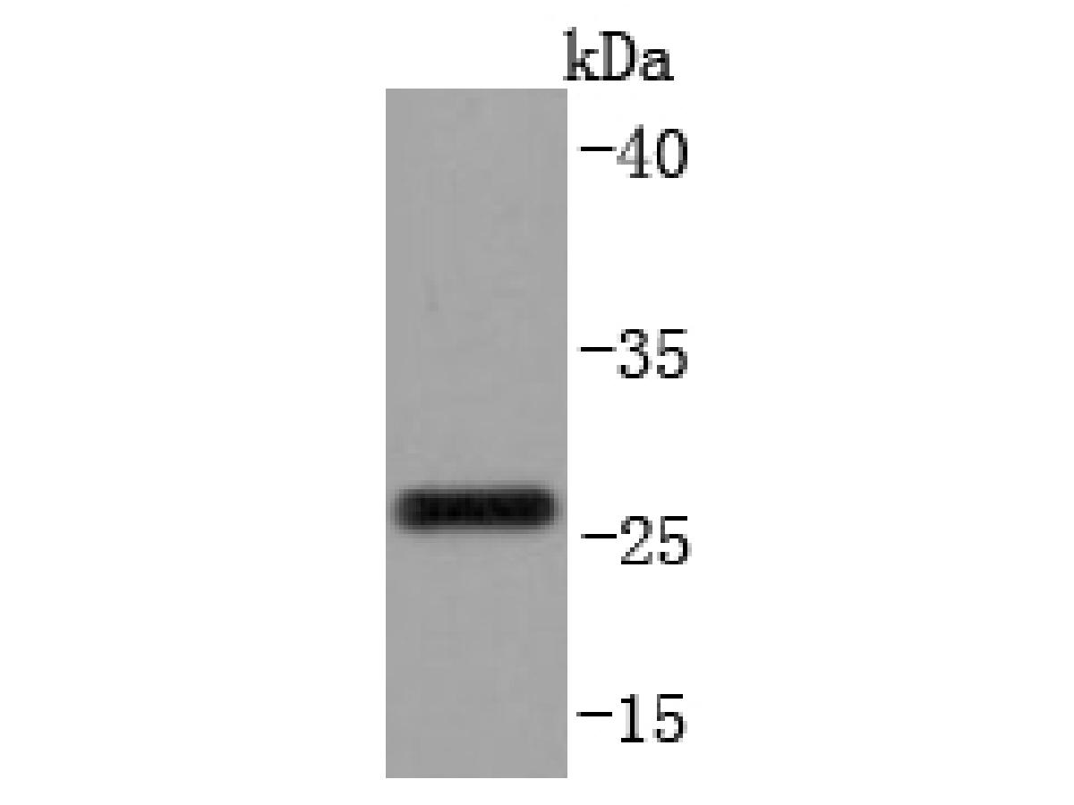 Western blot analysis of CD99 on THP-1 cells lysates using anti-CD99 antibody at 1/1,000 dilution.