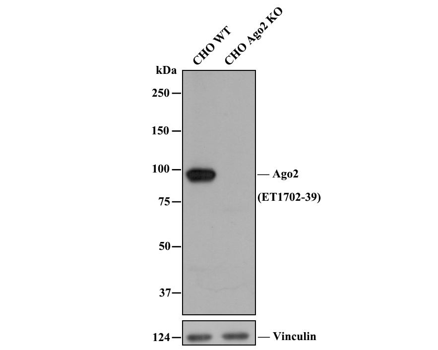Western blot analysis of Argonaute 2 on different lysates. Proteins were transferred to a PVDF membrane and blocked with 5% BSA in PBS for 1 hour at room temperature. The primary antibody (ET1702-39, 1/500) was used in 5% BSA at room temperature for 2 hours. Goat Anti-Rabbit IgG - HRP Secondary Antibody (HA1001) at 1:5,000 dilution was used for 1 hour at room temperature.<br />  Positive control: <br />  Lane 1: Jurkat cell lysate<br />  Lane 2: Hela cell lysate