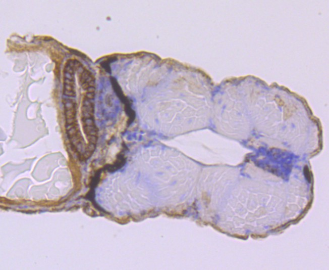 Flow cytometric analysis of NCAM was done on SH-SY5Y cells. The cells were fixed, permeabilized and stained with the primary antibody (ET1702-43, 1/50) (red). After incubation of the primary antibody at room temperature for an hour, the cells were stained with a Alexa Fluor 488-conjugated Goat anti-Rabbit IgG Secondary antibody at 1/1000 dilution for 30 minutes.Unlabelled sample was used as a control (cells without incubation with primary antibody; black).