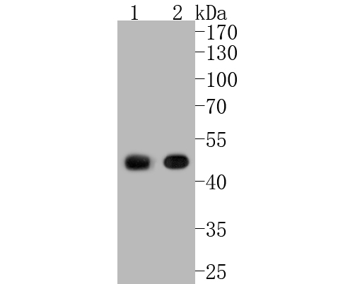 Western blot analysis of CNPase on different lysates. Proteins were transferred to a PVDF membrane and blocked with 5% BSA in PBS for 1 hour at room temperature. The primary antibody (ET1702-46, 1/500) was used in 5% BSA at room temperature for 2 hours. Goat Anti-Rabbit IgG - HRP Secondary Antibody (HA1001) at 1:5,000 dilution was used for 1 hour at room temperature.<br />  Positive control: <br />  Lane 1: mouse brain tissue lysate<br />  Lane 2: mouse cerebrum tissue lysate