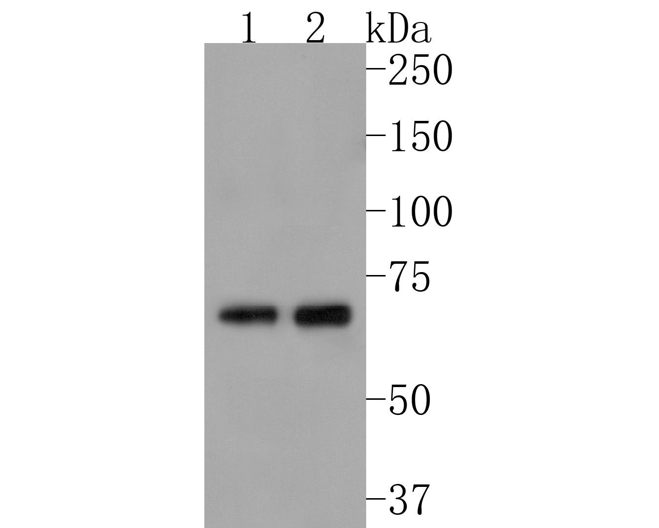 Western blot analysis of Albumin on Hela cells lysates using anti-Albumin antibody at 1/1,000 dilution.