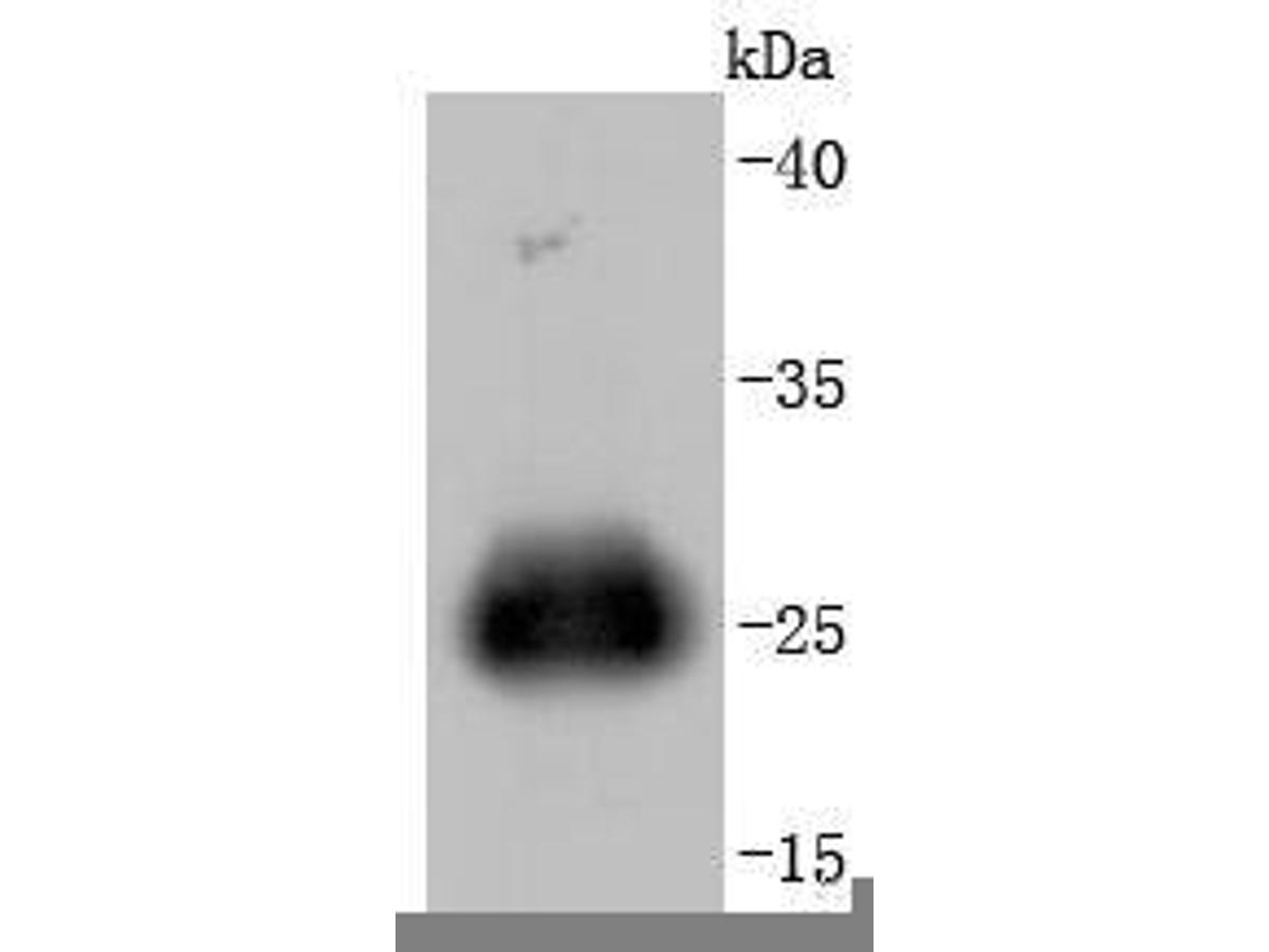 Western blot analysis of GFP on K562 cells transfected with GFP using anti-GFP antibody at 1/1,000 dilution.