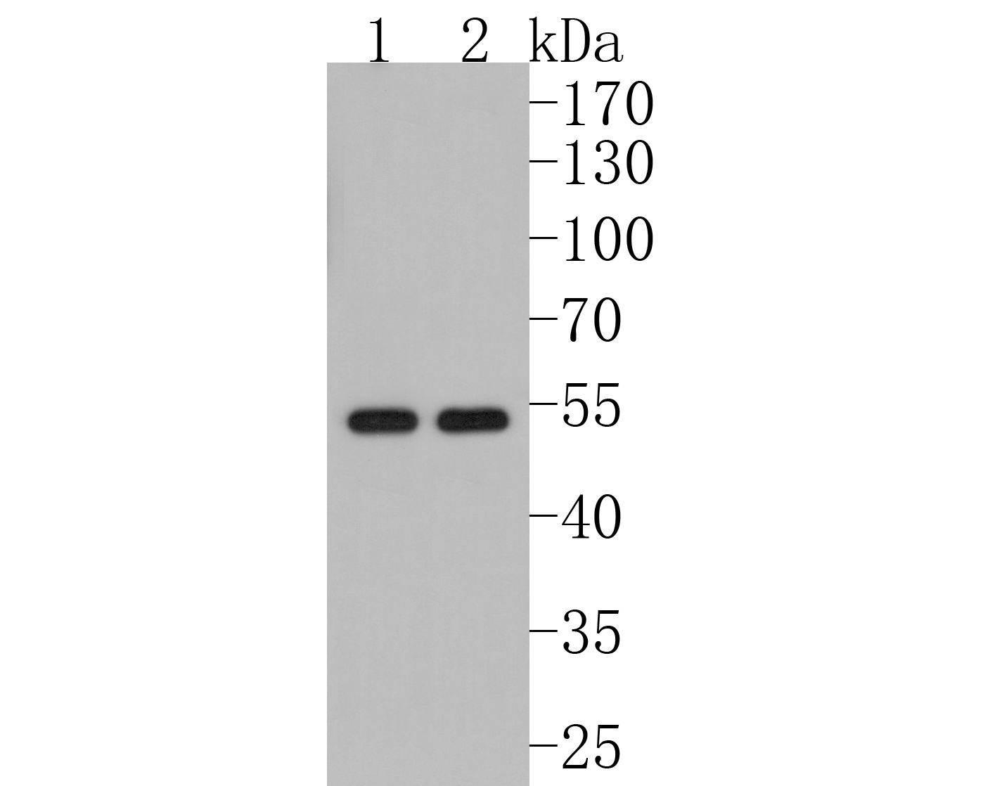 Western blot analysis of KLF4 on different lysates using anti-KLF4 antibody at 1/1,000 dilution.<br />  Positive control: <br />  Lane 1: 293 <br />  Lane 2: NCCIT