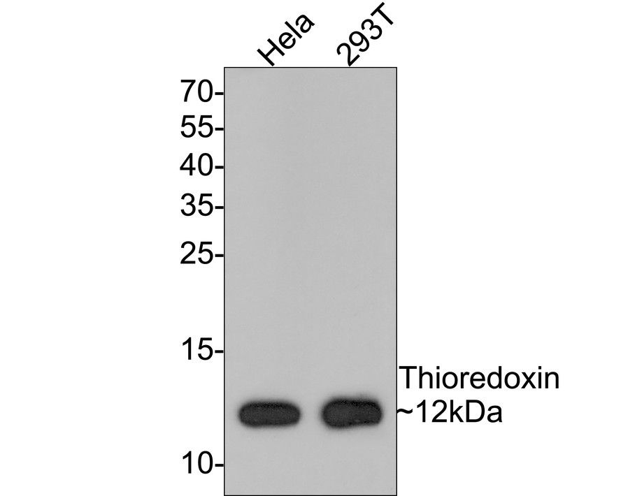 Western blot analysis of TRX1 on different lysates using anti-TRX1 antibody at 1/1,000 dilution.<br /> Positive control: <br />  Lane 1: Hela <br />  Lane 2: 293T
