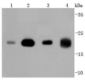 Western blot analysis of Ras on different lysates. Proteins were transferred to a PVDF membrane and blocked with 5% BSA in PBS for 1 hour at room temperature. The primary antibody (ET1702-94, 1/500) was used in 5% BSA at room temperature for 2 hours. Goat Anti-Rabbit IgG - HRP Secondary Antibody (HA1001) at 1:5,000 dilution was used for 1 hour at room temperature.<br /> Positive control: <br /> Lane 1: 293T cell lysate<br /> Lane 2: MCF-7 cell lysate<br /> Lane 3: Hela cell lysate<br /> Lane 4: zebrafish tissue lysate