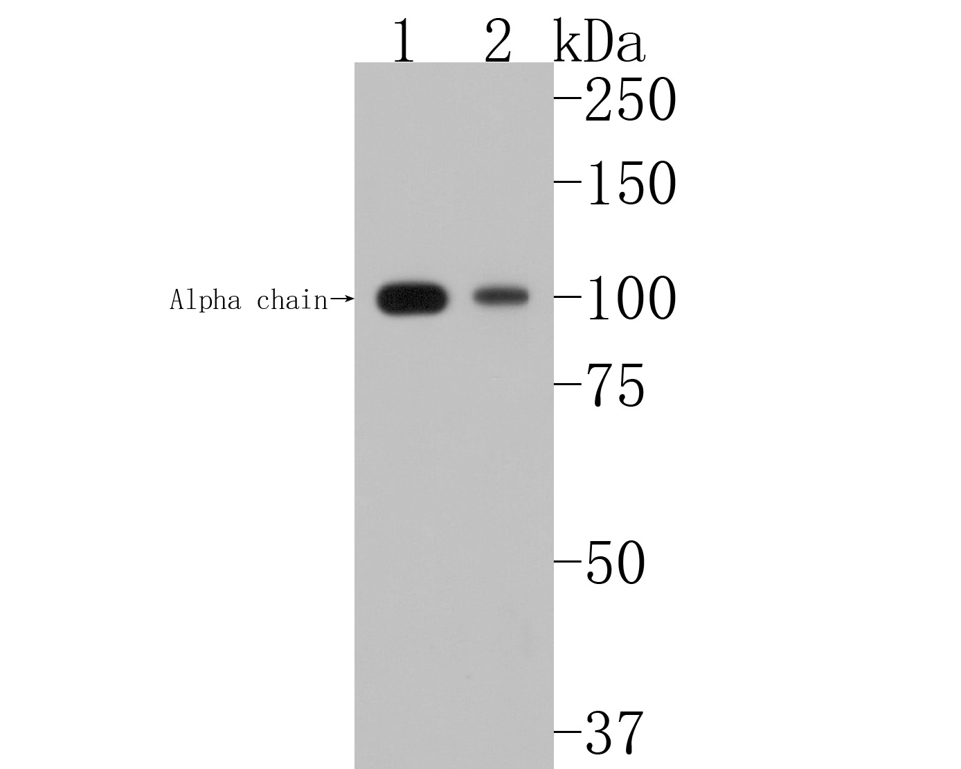 Western blot analysis of C3 on different lysates. Proteins were transferred to a PVDF membrane and blocked with 5% BSA in PBS for 1 hour at room temperature. The primary antibody (ET1702-99, 1/500) was used in 5% BSA at room temperature for 2 hours. Goat Anti-Rabbit IgG - HRP Secondary Antibody (HA1001) at 1:5,000 dilution was used for 1 hour at room temperature.<br /> Positive control: <br /> Lane 1: HepG2 cell lysate<br /> Lane 2: Hela cell lysate