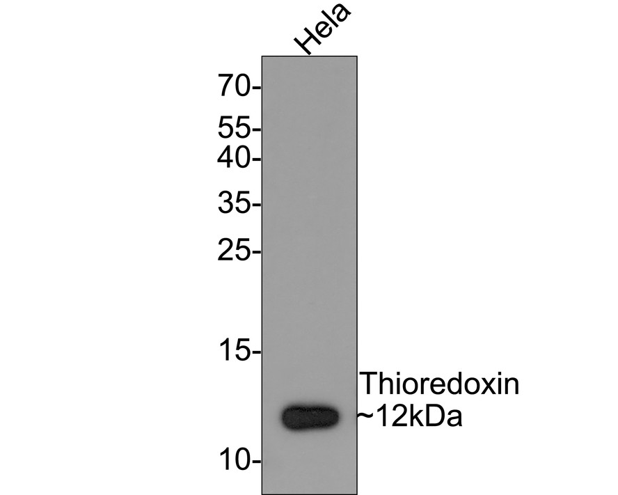 Western blot analysis of TRX1 on different lysates using anti-TRX1 antibody at 1/1,000 dilution.<br /> Positive control:   <br /> Lane 1: Hela         <br /> Lane 2: Human lung