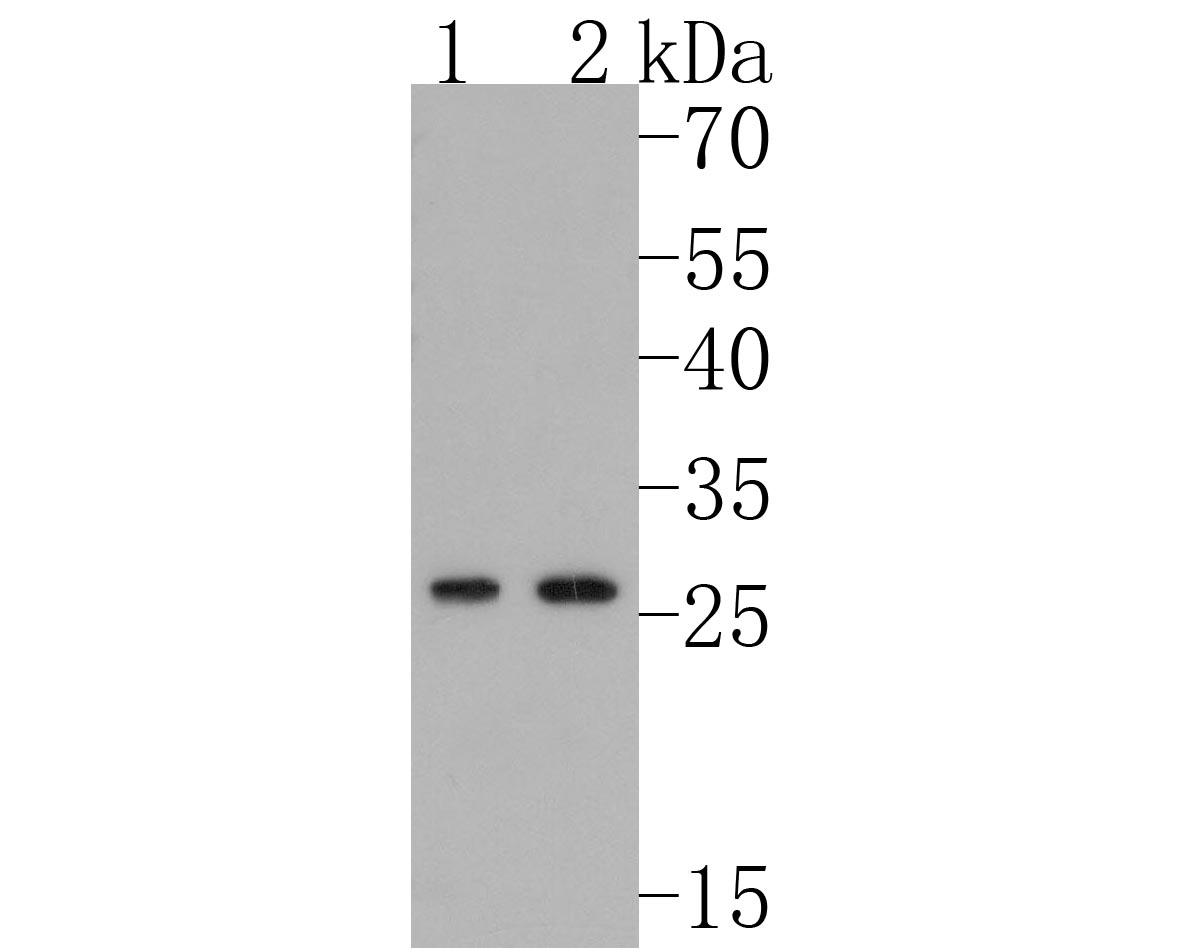 Western blot analysis of DDIT3 on different lysates. Proteins were transferred to a PVDF membrane and blocked with 5% BSA in PBS for 1 hour at room temperature. The primary antibody (ET1703-05, 1/500) was used in 5% BSA at room temperature for 2 hours. Goat Anti-Rabbit IgG - HRP Secondary Antibody (HA1001) at 1:5,000 dilution was used for 1 hour at room temperature.<br /> Positive control: <br /> Lane 1: LOVO cell lysate<br /> Lane 2: PC-12 cell lysate