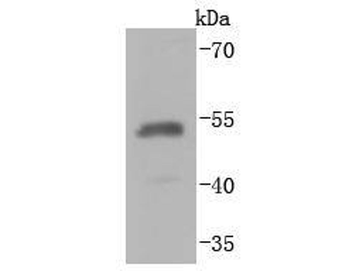 Western blot analysis of HA-tag on HA-tag recombinant protein lysates using anti-HA-tag antibody at 1/10,000 dilution.