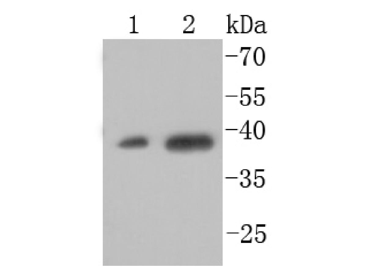 Western blot analysis of XBP1 on different cell lysates using anti-XBP1 antibody at 1/1,000 dilution.<br />  Positive control:<br />  Lane 1: HepG2<br />  Lane 2: 293T