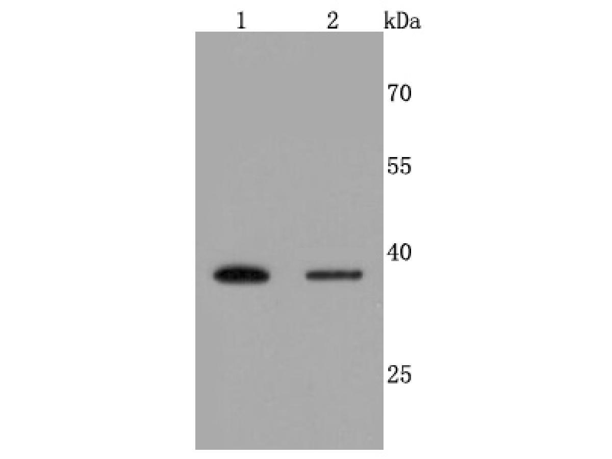 Western blot analysis of Haptoglobin on different cells lysates using anti-Haptoglobin antibody at 1/500 dilution.<br />  Positive control:<br />  Lane 1: Hela<br />  Lane 2: HepG2