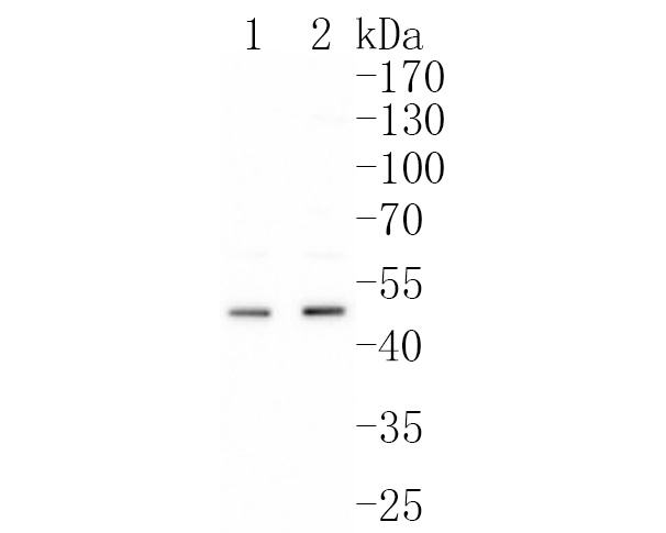 Western blot analysis of Urokinase on MCF-7 cells lysates using anti-Urokinase antibody at 1/500 dilution.