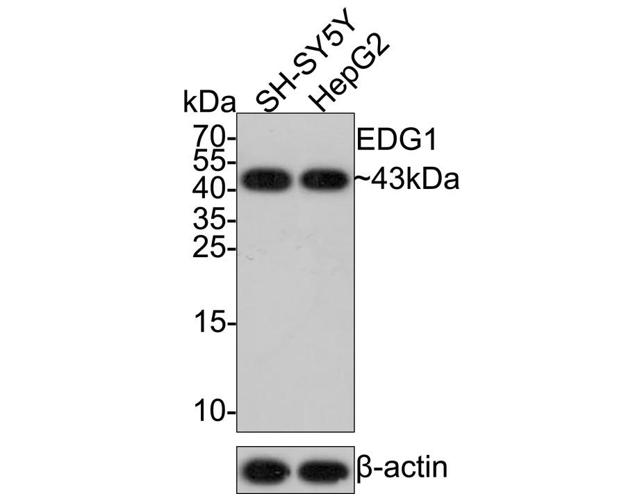 Western blot analysis of EDG1 on SH-SY5Y cells lysates using anti-EDG1 antibody at 1/1,000 dilution.