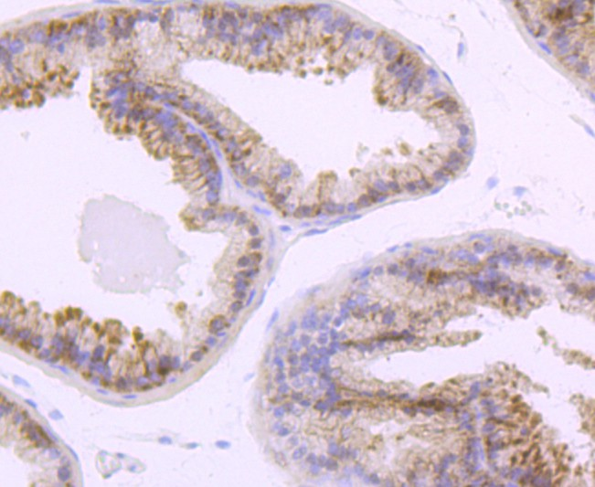 Immunohistochemical analysis of paraffin-embedded mouse prostate tissue using anti-TLR5 antibody. Counter stained with hematoxylin.
