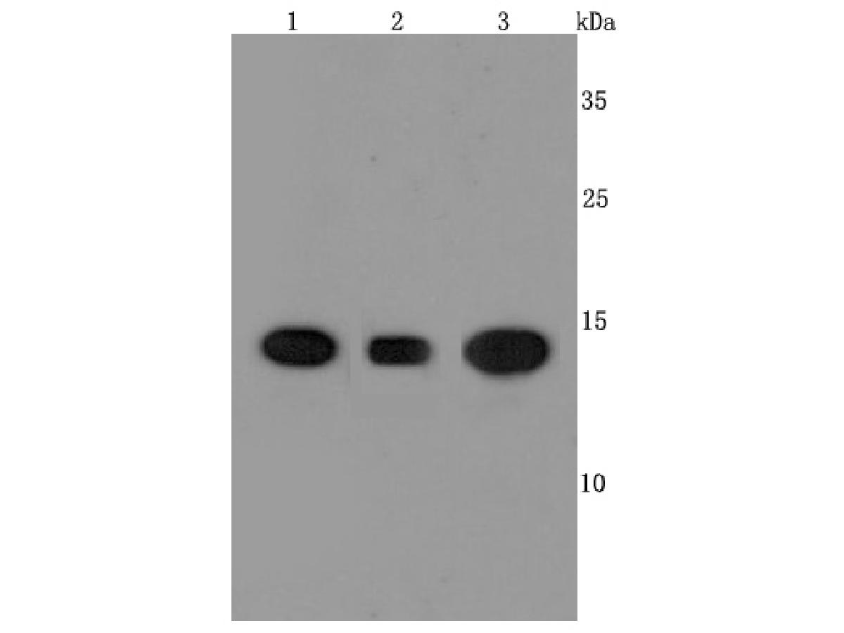 Western blot analysis of Cyclophilin A on different cells lysates using anti-Cyclophilin A antibody at 1/1,000 dilution.<br />  Positive control:<br />  Lane 1: Hela<br />  Lane 2: A431<br />  Lane 3: HepG2