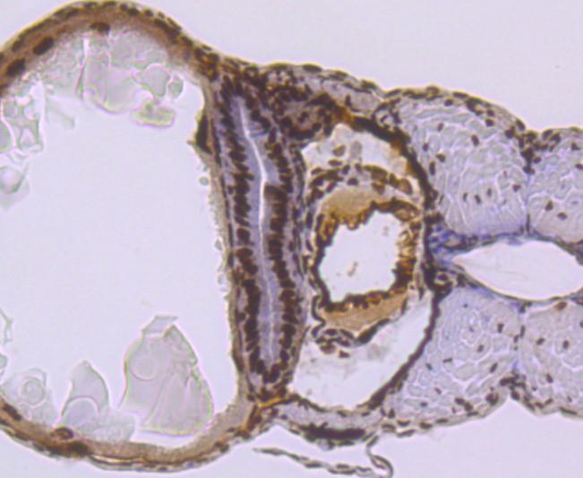 Immunohistochemical analysis of paraffin-embedded zebrafish tissue using anti-SMC3 antibody. Counter stained with hematoxylin.